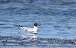 Bonapartes Gull. A Bonapartes Gull (Larus philadelphia) swimming in the ocean in summer Royalty Free Stock Photos