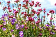 Bonariensis de Rozanne Geranium e do Verbena foto de stock royalty free