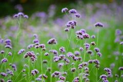 Bonariensis violeta de la verbena en fondo verde imagenes de archivo