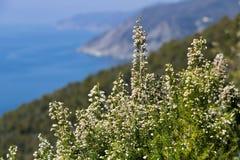 Bonassola, cerca de Cinque Terre, Liguria Bush de Erica Arborea con el fondo del mar de las cinco tierras foto de archivo libre de regalías