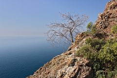 Bonassola, cerca de Cinque Terre Un pequeño árbol llevado en el acantilado imágenes de archivo libres de regalías