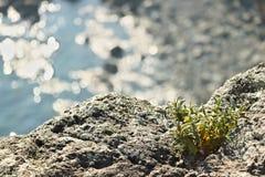 Bonassola, dichtbij Cinque Terre Een installatie van cistusladaniferus op de rotsen royalty-vrije stock fotografie