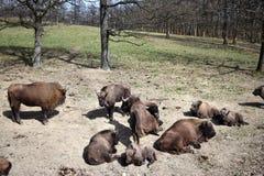 Bonasus brun européen de bison de bison qui vivent dans des réserves naturelles en Europe image libre de droits