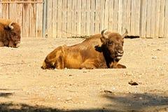 Bonasus do bisonte Fotos de Stock Royalty Free