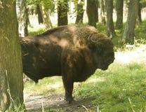 Bonasus do bisonte na floresta Imagens de Stock
