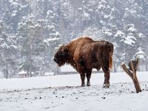 Bonasus européen de bison de bison dans l'habitat naturel images stock