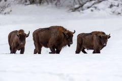 Bonasus européen de bison de bison dans l'habitat naturel image libre de droits