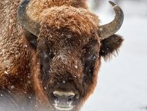 Bonasus européen de bison de bison dans l'habitat naturel en hiver Photos stock