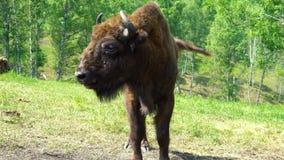 Bonasus europeo del bisonte del bisonte almacen de metraje de vídeo