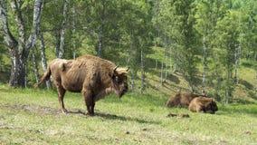 Bonasus europeo del bisonte del bisonte almacen de video