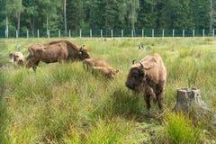 Bonasus europeo del iBison de los bisontes su hábitat natural imagen de archivo libre de regalías