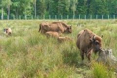 Bonasus europeo del iBison de los bisontes su hábitat natural foto de archivo