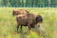 Bonasus europeo del iBison de los bisontes su hábitat natural fotografía de archivo