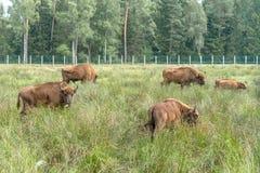 Bonasus europeo n del iBison de los bisontes su hábitat natural foto de archivo libre de regalías