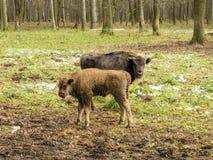 Bonasus europeu do bisonte dos bisontes, animais novos, aurochs na floresta fotografia de stock