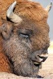 Bonasus van de wisentbizon kent ook als Europese bizon Stock Afbeeldingen