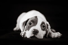 Bonbon à chiot de pitbull images libres de droits