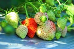 Bonbon à goût de fraise Photo libre de droits