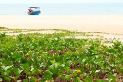 Bonbon à siège potentiel d'explosion-caprae d'Ipomoea sur une plage image libre de droits