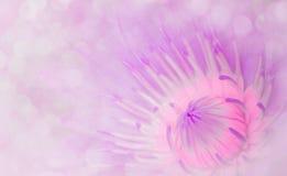 Bonbon doux à fond de conception de l'avant-projet de lotus de style de couleur abstraite Image libre de droits
