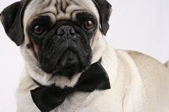 Bond Pug Stock Image