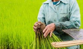 Bonde Bundle av ris i lantgårdris Arkivfoto