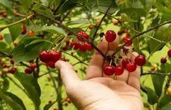Bonde Checking His Cherry Trees Before Harvest Royaltyfria Foton