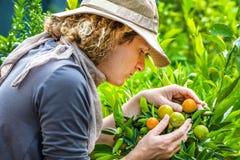 Bonde Checking Tangerines arkivfoto