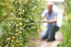 Bonde Checking Tomato Plants i växthus Royaltyfria Bilder