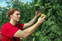 Bonde Checking Tomato Plants i växthus Royaltyfri Foto