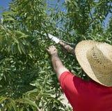 Bonde Cutting Branch Of Olive Tree royaltyfri fotografi