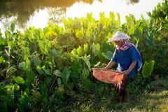 Bonde för gammal kvinna som arbetar på fält Royaltyfria Foton