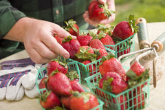 Bonde Gathering Fresh Strawberries i korgar Arkivbilder