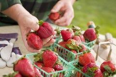 Bonde Gathering Fresh Strawberries i korgar Royaltyfri Foto