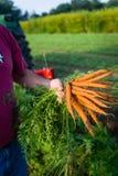 Bonde Harvesting Carrots Fotografering för Bildbyråer