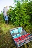 Bonde Harvesting Rasberries Arkivbilder
