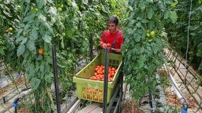 Bonde Harvesting Tomatoes Royaltyfri Fotografi
