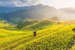 Bonde i risfält som terrasseras på av Vietnam Risfält förbereder skörden på det nordvästliga Vietnam landskapet Arkivfoton