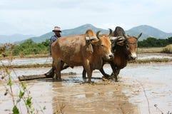 Bonde med buffel två på risfält Arkivfoto