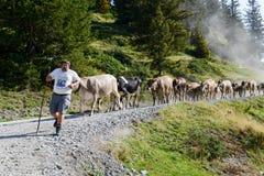 Bonde med hans flock av kor Royaltyfri Fotografi