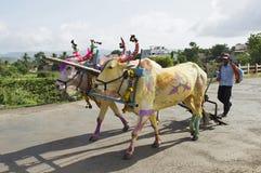 Bonde med kulöra tjurar under den okPola festivalen arkivbilder