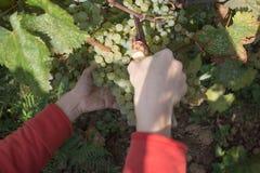 Bonde med trädgårds- sax som klipper en stor grupp av druvan i den soliga dalen Arbete på vingårdar under skörd Royaltyfria Bilder