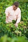 Bonde nära druvor i vingård Arkivfoto