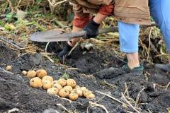 Bonde och organisk potatisskörd arkivbild
