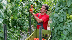 Bonde Picking Tomatoes Royaltyfri Bild