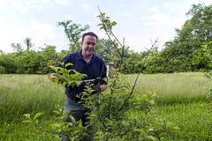 Bonde Pruning ett organiskt Apple träd Arkivbilder