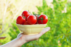 Bonde Showing Organic Tomatoes Arkivfoto