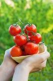 Bonde Showing Organic Tomatoes Royaltyfri Bild
