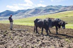 Bonde som arbetar hans fält med oxar i Lesotho Arkivbilder