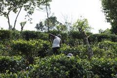 Bonde som arbetar i ett fält Ella Sri Lanka Royaltyfria Bilder